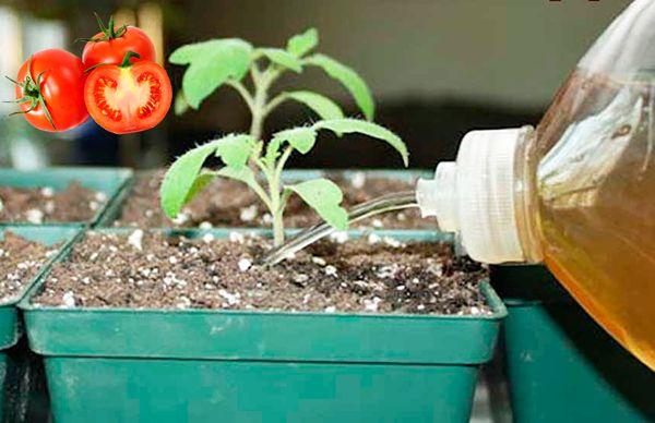 Подкормка для рассады помидоров