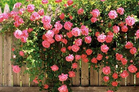 Живая изгородь своими руками. Цветущий забор