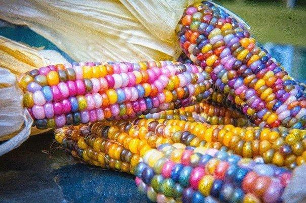 Кукуруза сорта Glass Gem