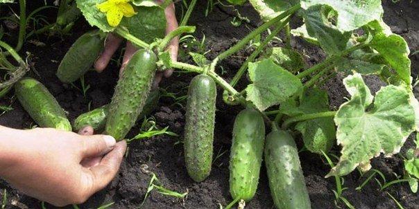 Попробуйте расположить посадки огурцов в междурядьях картофеля. Благодаря этому способу огурцов можно намного больше.