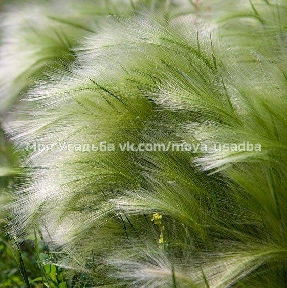 Stipa (ковыль) tenuissima Ponytails нежные ворсинистые цветки, низкорослая, высота 40см.