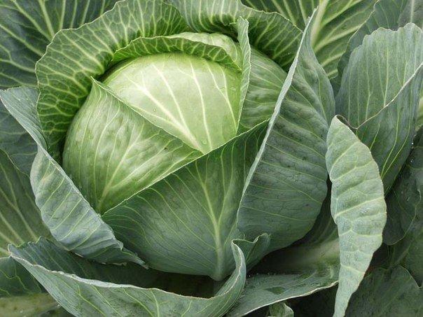 Овощи_ДД Капуста_ДД