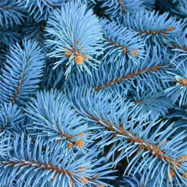 Голубые ели – как их вырастить из черенков?