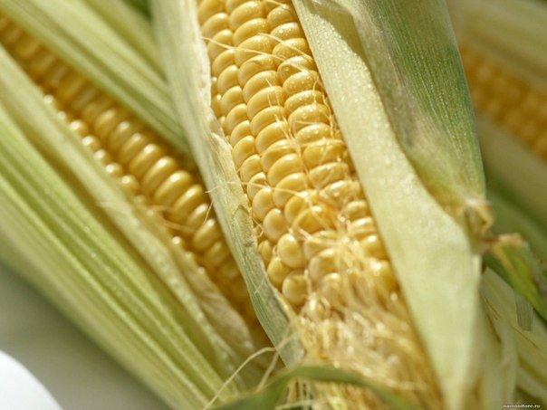 Сохраним урожай кукурузы от птиц