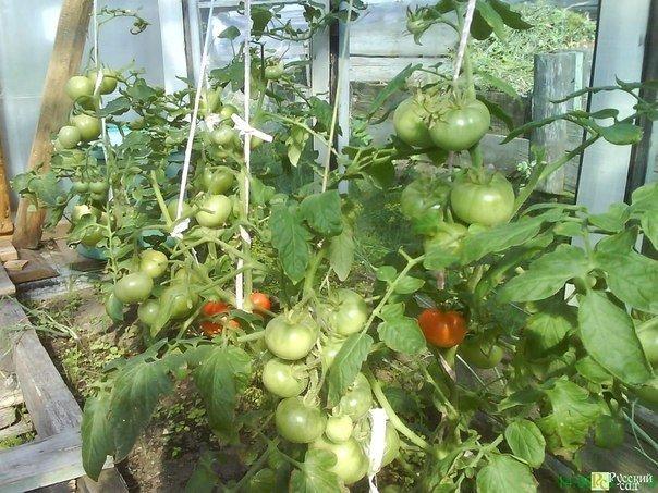 Почему у листьев томатов бывает мраморная светло- и темно - зеленая окраска?
