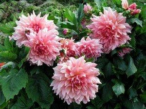 Удобрения для роз, георгинов, пионов
